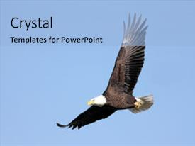 Slide set featuring adult bald eagle haliaeetus leucocephalus image and a light blue colored foreground.