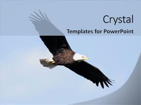 Template featuring adult bald eagle haliaeetus leucocephalus image and a light blue colored foreground.