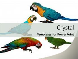 <b>Crystal</b> PowerPoint template with araa - colorful parrots as 2 male themed background and a light gray colored foreground design featuring a [design description].