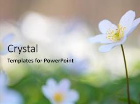 Cool new presentation theme with flowered - single wild flower anemone nemerosa backdrop and a  colored foreground.
