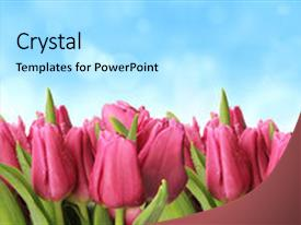 Presentation design consisting of fresh spring tulips with blur background and a arctic colored foreground.