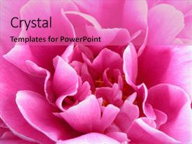 Presentation theme enhanced with gorgeous bright pink flower blooming background and a coral colored foreground.