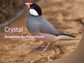 Java powerpoint templates crystalgraphics presentation theme with sparrow lonchura oryzivora also background and a violet colored foreground toneelgroepblik Gallery