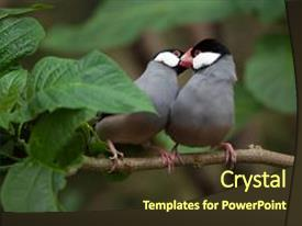 Java powerpoint templates crystalgraphics ppt layouts featuring sparrow lonchura oryzivora also background and a tawny brown colored toneelgroepblik Gallery