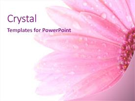 PPT layouts having pink flower with water droplets background and a pink colored foreground.