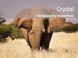 Audience pleasing slide set consisting of travel - elephant in the savannah backdrop and a gray colored foreground.