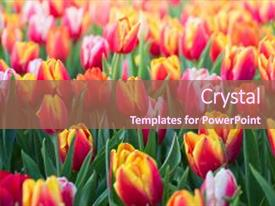 Beautiful PPT theme featuring tulip beautiful bouquet of tulips backdrop and a violet colored foreground.
