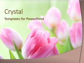 Cool new PPT theme with tulips flowers over white background backdrop and a cream colored foreground.