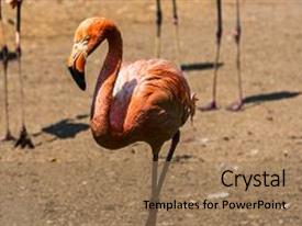Zoology powerpoint templates crystalgraphics audience pleasing ppt having zoology beautiful red flamingo standing backdrop and a coral colored foreground toneelgroepblik Images