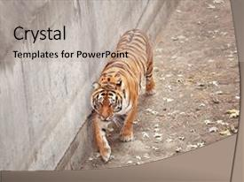 Zoology powerpoint templates crystalgraphics ppt having beautiful tiger in zoological garden backdrop and a mint green toneelgroepblik Images
