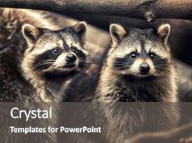 Zoology powerpoint templates crystalgraphics ppt featuring zoology cute funny raccoons in zoological image and a dark gray colored foreground toneelgroepblik Images