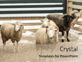 Zoology powerpoint templates crystalgraphics template size slide set enhanced with cute funny sheep in zoological theme and a toneelgroepblik Images